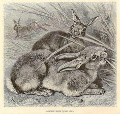 Bunny engraving