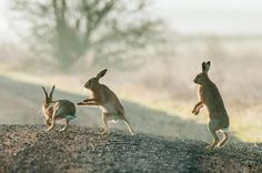 chasing hares | robert canis.