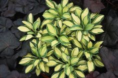 """Pure Heart - NEW! [Mini] (Walters Gardens) Hosta 'Pure Heart' is a variegated sport of h. 'Blue Mouse Ears'. Thick, rounded leaves with blue-green margins and a creamy yellow to creamy white center. Lavender flowers on 8"""" scapes in midseason."""