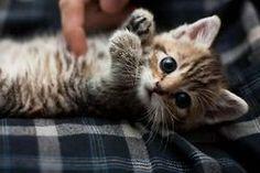 So adorable! A tabby kitten, omgosh!