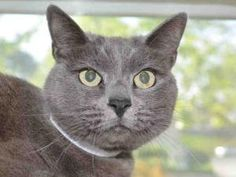 GRAPES is an adoptable Domestic Short Hair Cat in Martinez, CA.  ...