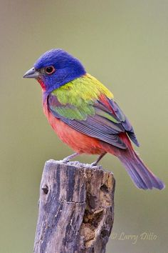 The painted bunting (Passerina ciris) is a species of bird in the cardinal famil. Bunting Bird, Painted Bunting, Photo Bunting, Hessian Bunting, Patriotic Bunting, Bunting Ideas, Felt Bunting, Vintage Bunting, Christmas Bunting