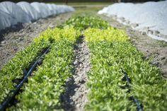 Urban Fringe Farm_Frisee_Restaurant Farm_Seattle Urban Company.jpg