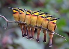 storyhearts-journey:    Little Bee-Eaters by Kit Day  via Handbook of the Birds of the World