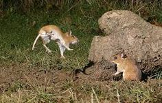 Image result for wood mice images