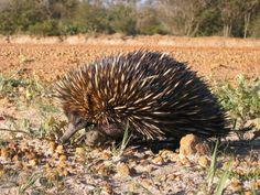 Echidna of Australia. Elusive marsupial. More at www.travelswithtalek.com