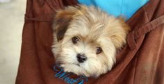 This was a little puppy in a ladies bag in Murwillumbah NSW. She was kind enough to let me take a picture. Very cute.