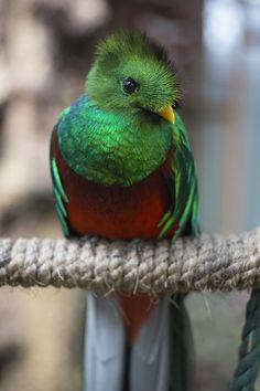Quetzal de Guatemala, por Fernando Aceves Reptiles, Mammals, The Gambit, Peacock Bird, Cute Birds, Colorful Birds, Leica, Photo Illustration, Cute Animals