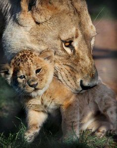 lioness and cub // ภเгคк ค๓๏