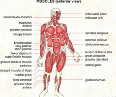muscles of the body | science & fun: the muscles in our body, Muscles