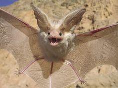 Murciélago Orejudo del Desierto.