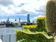 For our recent Gold Coast poolside planter-box project in Broadbeach, our choice of screening plant was the BANKSIA ROBUR or swamp banksia. This banksia was chosen because it is an attractive and hardy plant,suitable for both low hedges and pots. Growing to a little over 2 metres, the flower...
