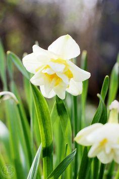 Oravankesäpesä | Perunanarsissi Narcissus 'Bridal Crown'