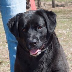 Molly Has only Days Left To Live! Euthanasia date: 2014-05-30   Reason for euthanasia: Space  Molly Black Labrador Retriever & Boxer Mix • Adult • Female • Large Wetzel County Animal Shelter New Martinsville, WV http://www.dogsindanger.com/dog.jsp?did=1395147862753