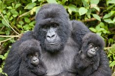 Buy aprons, save apes!  all apes are endangered.  many are at the brink of extinction.  Help us save them.  Find out more on our web page!