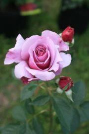 Rose Cindy Hart Garden Flowers Names