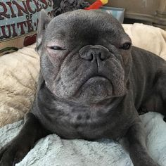 This IS my happy face...#happyface #smile #bluefrenchie #cutiepie #itsadogslife #frenchies #igdogs #instadog  #instafrenchie #igfrenchies #bully #dogs #frenchbulldog #dog #frenchielovers #bulldoglove #frenchiesofinstagram #bulldog #dogsofinstagram #animals #lovemydog #bluebullydogs #frenchie #frenchielove #therapydog #frenchiegram #frenchbulldogs #frenchbulldog #bluefrenchbulldog  #frenchbulldogsofinstagram #flatnosedogsociety