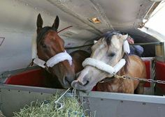 American Pharoah and his pony partner, Smokey, landing in Louisville, Kentucky. Smokey is AP's companion pony and he can be seen next to AP riding up to the starting gate and after races. Smokey gets first-class treatment, too! (not my photo).