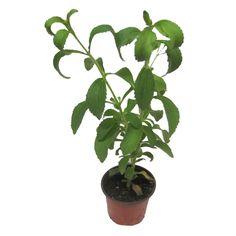 Stevia Şeker Otu Bitkisi 20-40 cm, Saksıda - Fidan Satışı, Fide Satışı, internetten Fidan Siparişi, Bodur Aşılı Sertifikalı Meyve Fidanı Süs Bitkileri