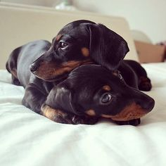 Dachshund – Friendly and Curious Doxie Puppies, Weenie Dogs, Dachshund Puppies, Dachshund Love, Cute Puppies, Cute Dogs, Dogs And Puppies, Daschund, Doggies