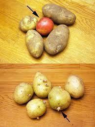 Inclure une pomme dans votre sachet à pomme de terre les empêchera de germer.
