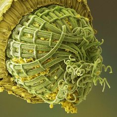 Under Scanning Electron Microscope;  moss spore capsule