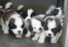 St. Bernard puppies are the cutest!!
