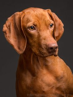 are you going? - For media, license and print requests…Where are you going? - For media, license and print requests… Bluetick Coonhound, Weimaraner, Vizsla Puppies, Dogs And Puppies, Vizsla Dog, Doggies, Dog Photos, Dog Pictures, Hunting Dog Names