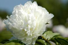 White Charm Peony - Side buds: Several - Fragrance: Good  - Flowering period: Week 5