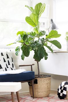 1. Fiddle Leaf Fig Tree This one is probably my favorite out of the whole bunch. I have had a gorgeous fiddle leaf tree in my living room for years. It's been fun to watch it grow (they grown pretty fast), and become so tall that it almost reaches my ceiling. The dark green leaves have a lovely, rubbery texture. This plant loves bright, indirect light, so place yours near a window and allow soil to dry in between watering.
