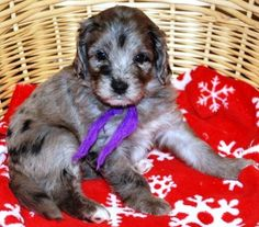 Roobey is an Aussiedoodle soon to join our family of doodle dogs. She is a Doodleville pup named for her daddy's Rubicon Jeep (with an Austalian twist of course). A Poodle mom and an Australian Shepherd dad came together to make us glad! See you soon, Roobey!