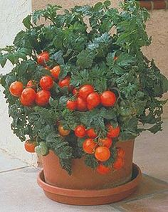Tiny Tim Tomatoes are perfect for growing in containers.