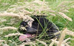 If Maya gets half an opportunity she's off haring around in the long grass, she absolutely loves it and last year before I invested lots of time in her training she was forever coming home co…