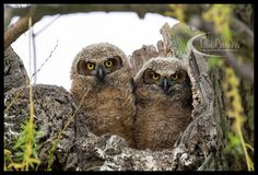 © 2015, Paul Danaher - Photography  Red Phase Screech Owl