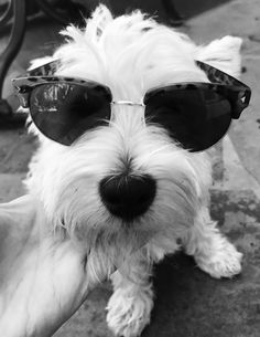 Celebrity central #westies #sunglasses #celebrity