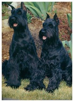 Best Giant Schnauzer Dog Names – The Paws Schnauzer Mix, Schnauzers, Standard Schnauzer, Giant Schnauzer, Miniature Schnauzer, Schnauzer Gigante, Funny Dogs, Cute Dogs, Dressage