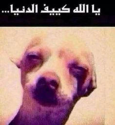 Arabic Jokes, Funny Comments, Dogs, Animals, Animales, Animaux, Pet Dogs, Doggies, Animal