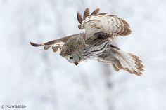 Hunting Owl by Giedrius Stakauskas