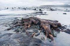 Ancient oaks and pines from 5,000-year-old forest rise as Welsh beach is washed away - Rising from the beach in a surreal seascape, the remains of these ancient trees have been revealed by the storms.   Thought to date back to the Bronze Age, the shin-high stumps became visible for the first time when the peat which once covered them was washed away in torrential rain and waves pounding the shore.   Now they stud the beach near the village of Borth, Ceredigion, Mid Wales –