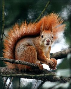 Animals And Pets, Baby Animals, Funny Animals, Cute Animals, Squirrel Pictures, Animal Pictures, Cute Squirrel, Squirrels, Little Critter