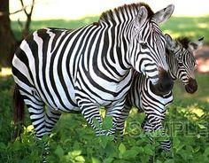 Momma and baby zebra