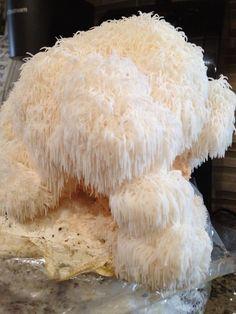 How to cultivate a Lion's Mane Mushroom Grow Bag #growingediblemushrooms