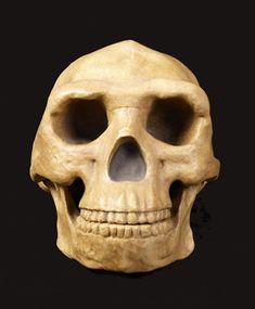 Fósil de Homo Erectus
