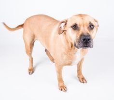 Petango.com – Meet Ivi, a 3 years 5 months Terrier, American Pit Bull / Mix available for adoption in DECATUR, GA
