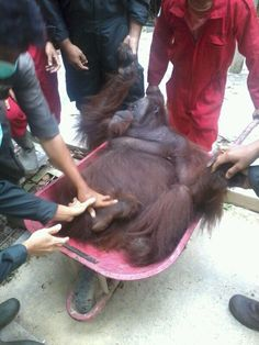 Starting Sunday, the BOS Foundation at Samboja Lestari releases three orangutans into Kehje Sewen forest.