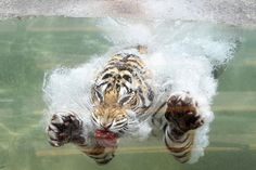 June 20, 2012. A Bengal Tiger named Akasha dives into the water after a piece of meat at Six Flags Discovery Kingdom in Vallejo, California.