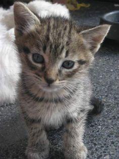 RAYITAS - Gato adoptado - AsoKa el grande
