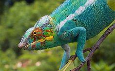 chameleon | Chameleon Facts For Kids | Chameleon Habitat & Diet