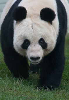 Hi, Im Tian Tian | Flickr