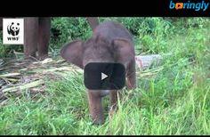 Cute baby #elephant learning how to use her trunk.  #funnyelephant #funnyvideos #funny
